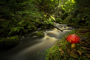 Fly agaric toadstool (Amanita muscaria) on river bank, in deciduous woodland. Sheffield, England, UK.  -  Paul Hobson