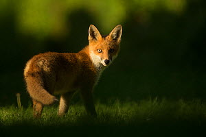 Red fox (Vulpes vulpes) cub looking at camera, in morning. Sheffield, England, UK. June.  -  Paul Hobson