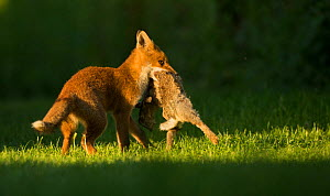 Red fox (Vulpes vulpes) cub with Rabbit (Oryctolagus cuniculus) in mouth. Sheffield, England, UK. June.  -  Paul Hobson