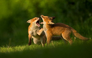 Red fox (Vulpes vulpes), two cubs play fighting. Sheffield, England, UK. May. - Paul Hobson