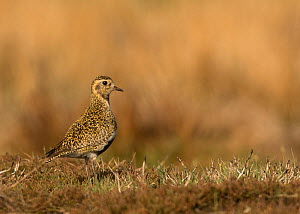 Golden plover (Pluvialis apricaria). Sheffield, South Yorkshire, England, UK. May.  -  Paul Hobson