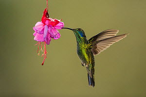 Green violetear (Colibri thalassinus) hummingbird nectaring on Fuchsia (Fuchsia sp) flower. Costa Rica.  -  Paul Hobson