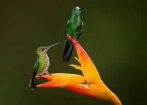 Green-crowned brilliant (Heliodoxa jacula), two perched on Lobster-claw (Heliconia sp) flower. Costa Rica. - Paul Hobson