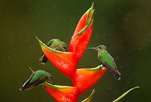 Green-crowned brilliant (Heliodoxa jacula), three feeding on Lobster-claw (Heliconia sp) flower in rain. Costa Rica.  -  Paul Hobson