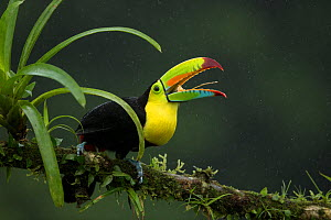 Keel-billed toucan (Ramphastos sulfuratus) perched on branch with beak open. Laguna del Lagarto, Alajuela, Costa Rica.  -  Paul Hobson
