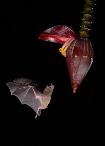 Leaf-nosed bat (Phyllostomidae sp) flying towards Banana (Musa sp) flower to feed. Costa Rica. - Paul Hobson