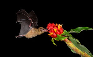 Leaf-nosed bat (Phyllostomidae sp) nectaring on flower. Costa Rica. - Paul Hobson