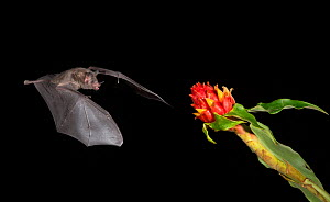 Leaf-nosed bat (Phyllostomidae sp) flying towards flower to feed. Costa Rica. - Paul Hobson