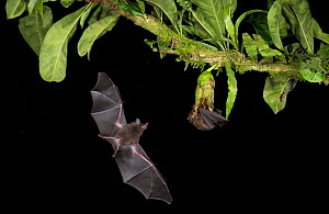 Leaf-nosed bat (Phyllostomidae sp), two, nectaring on and flying towards flower. Costa Rica. - Paul Hobson