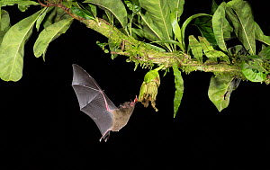 Leaf-nosed bat (Phyllostomidae sp) nectaring, approaching flower with tongue out. Costa Rica. - Paul Hobson
