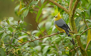 Long-tailed silky-flycatcher (Ptiliogonys caudatus) perched in tree. Costa Rica. - Paul Hobson