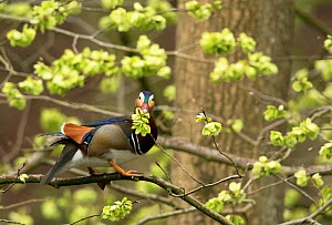 Mandarin duck (Aix galericulata) male eating young Elm (Ulmus sp) seeds in tree. Derbyshire, England, UK. April.  -  Paul Hobson