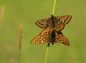 Marsh fritillary (Euphydryas aurinia) pair mating on grass stem. Lincolnshire, England, UK. - Paul Hobson