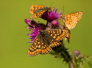 Marsh fritillary (Euphydryas aurinia), group feeding on Marsh thistle (Cirsium palustre). Lincolnshire, England, UK. - Paul Hobson