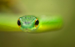 Parrot snake (Leptophis ahaetulla) head, looking at camera. Costa Rica.  -  Paul Hobson