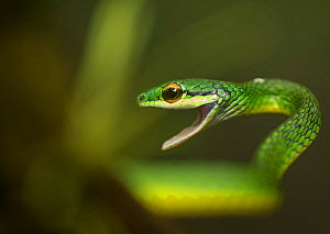 Parrot snake (Leptophis ahaetulla) in aggressive pose with mouth open. Costa Rica.  -  Paul Hobson