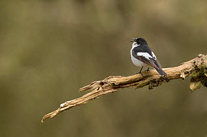 Pied flycatcher (Ficedula hypoleuca) male singing, perched on branch. Peak District National Park, England, UK. April.  -  Paul Hobson