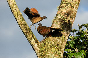 Plain chachalaca (Ortalis vetula), two in fork of tree. Rancho Naturalista, Cartago, Costa Rica.  -  Paul Hobson