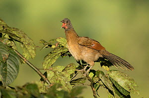 Plain chachalaca (Ortalis vetula) perched with open beak. Rancho Naturalista, Cartago, Costa Rica.  -  Paul Hobson