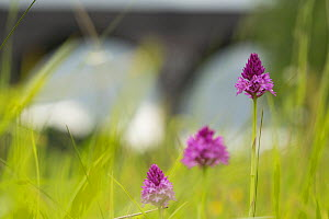 Pyramidal Orchid (Anacamptis pyramidalis), three flowers with railway viaduct in background. Sprotborough Flash, South Yorkshire, England, UK. June.  -  Paul Hobson