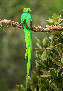 Resplendent quetzal (Pharomachrus mocinno) male perched on branch. Costa Rica. - Paul Hobson