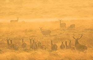 Red deer (Cervus elaphus) herd during rut in morning light. Derbyshire, England, UK. October. - Paul Hobson