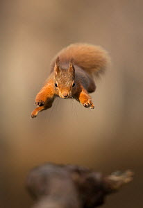 Red squirrel (Sciurus vulgaris) jumping towards camera. Scotland, UK. February. - Paul Hobson