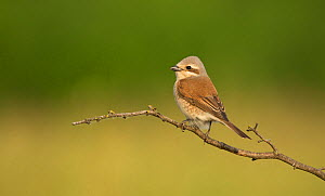 Red-backed shrike (Lanius collurio) female perched on branch. Hungary. May.  -  Paul Hobson