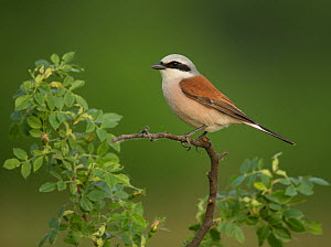 Red-backed shrike (Lanius collurio) male perched on branch. Hungary. May.  -  Paul Hobson