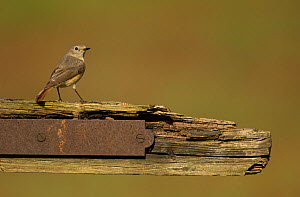 Redstart (Phoenicurus phoenicurus) female perched on old gate. Surrey, England, UK. May. - Paul Hobson