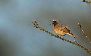 Redstart (Phoenicurus phoenicurus) male singing, perched on branch. Sheffield, England, UK. April. - Paul Hobson