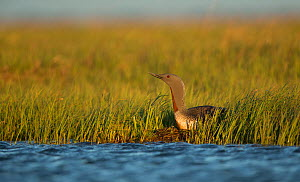 Red-throated diver (Gavia stellata) on nest at water's edge, in evening light. Iceland. June.  -  Paul Hobson