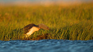 Red-throated diver (Gavia stellata) approaching nest at water's edge, in evening light. Iceland. June.  -  Paul Hobson