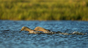 Red-throated diver (Gavia stellata) pair in courtship display. Iceland. June.  -  Paul Hobson