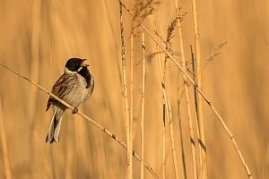 Reed bunting (Emberiza schoeniclus) male singing amongst reeds. Sheffield, England, UK. May.  -  Paul Hobson