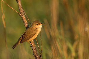 Reed warbler (Acrocephalus scirpaceus) perched on stem in morning light. Sheffield, England, UK. May. - Paul Hobson