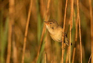 Reed warbler (Acrocephalus scirpaceus) vocalising whilst perched amongst reeds in morning light. Sheffield, England, UK. May. - Paul Hobson