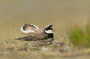 Ringed plover (Charadrius hiaticula) vocalising and moving wings in distraction display. Iceland. June.  -  Paul Hobson