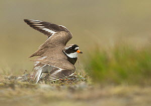 Ringed plover (Charadrius hiaticula) flapping wings in distraction display. Iceland. June.  -  Paul Hobson