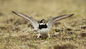 Ringed plover (Charadrius hiaticula), wings outstretched in distraction display. Iceland. June.  -  Paul Hobson