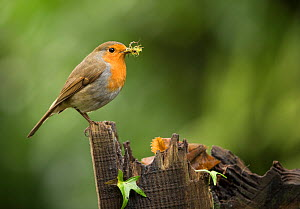 Robin (Erithacus rubecula) female with nesting material in beak, perched on old gate. Sheffield, England, UK. March. - Paul Hobson