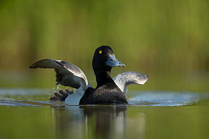 Greater scaup (Aythya marila) male on water. Iceland. June.  -  Paul Hobson