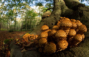 Shaggy scalycap / pholiota (Pholiota squarrosa) fungus at base of tree. Nottinghamshire, England, UK. - Paul Hobson