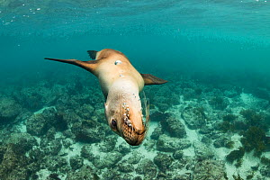 Galapagos sea lion (Zalophus wollebaeki) swimming upside down off San Cristobal Island, Galapagos.  -  Nick Hawkins