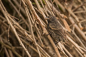Common cactus finch (Geospiza scandens) perched on twigs. San Cristobal Island, Galapagos. - Nick Hawkins