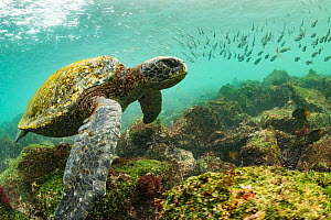 Galapagos green turtle (Chelonia mydas agassizi) swimming above sea floor with shoal of fish in background. Off San Cristobal Island, Galapagos.  -  Nick Hawkins