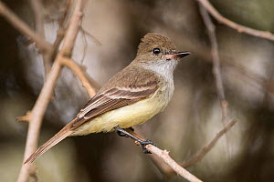 Galapagos flycatcher (Myiarchus magnirostris) perched on branch. San Cristobal Island, Galapagos.  -  Nick Hawkins