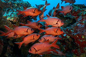 Squirrelfish (Holocentrus sp) shoal amongst rocks. Near Cocos Island National Park, Costa Rica.  -  Nick Hawkins