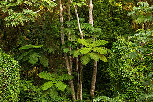Tree ferns and rainforest. Cocos Island National Park, Costa Rica.  -  Nick Hawkins