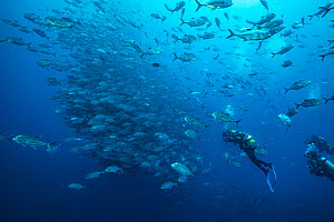 Divers observing large school of Bigeye trevally (Caranx sexfasciatus). Near Cocos Island National Park, Costa Rica.  -  Nick Hawkins